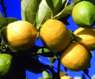 La Fête du Citron à Menton - Du 11 février au 1er mars 2017
